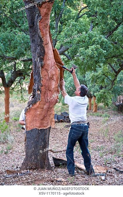 Extracting the cork. Cortelazor. Huelva. Natural Park of Aracena and Picos de Aroche. Andalucia. Spain