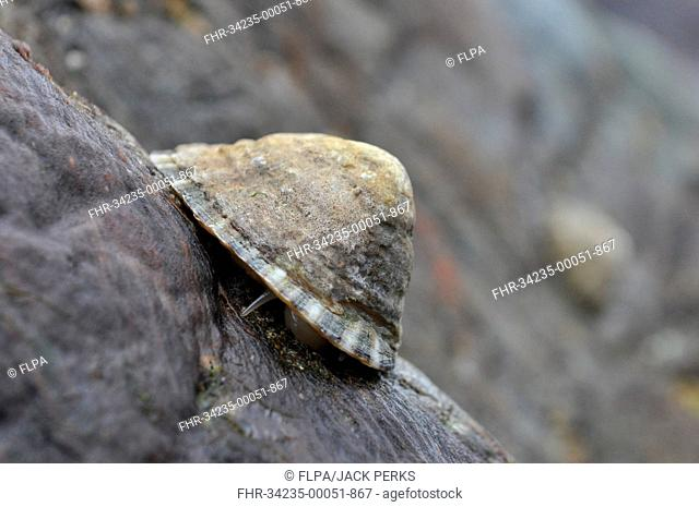 Common Limpet (Patella vulgata) adult, feeding on rock at low tide, Porthkerris, Lizard Peninsula, Cornwall, England, May