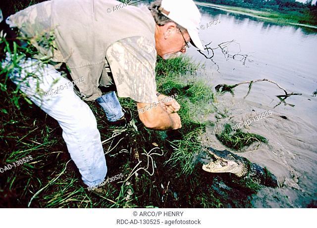 Man catching American Alligator Texas USA Alligator mississippiensis