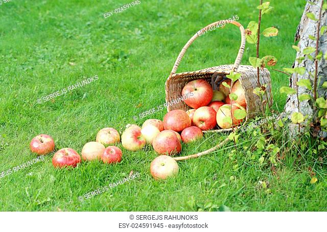 Lots of apples from a basket lying on a grass near a tree
