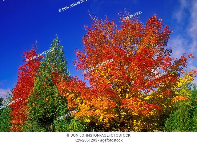 Red maples and cedars, M'Chigeeng First Nation, Ontario, Canada