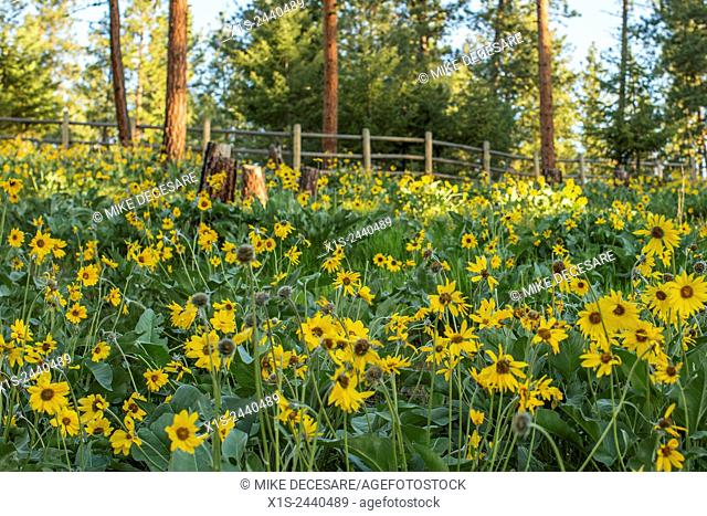 Field of yellow daisies brightens the morning in a Montana landscape