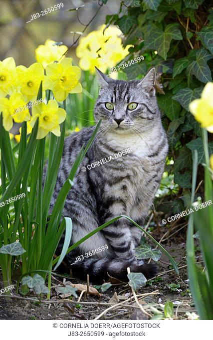 Domestic cat in Garden in Spring