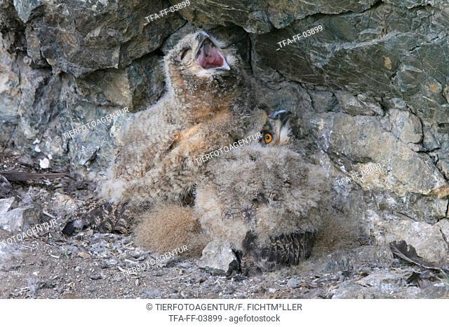 young Eurasian eagle owls