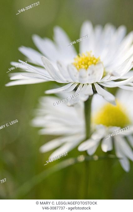English Daisy, Bellis perennis
