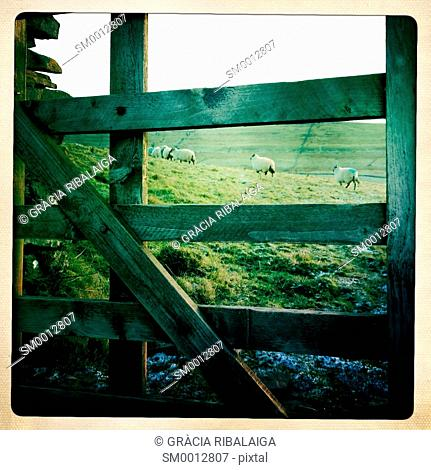 Lambs seen through a wooden barrier. Yorkshire Dales, North Yorkshire, England, UK