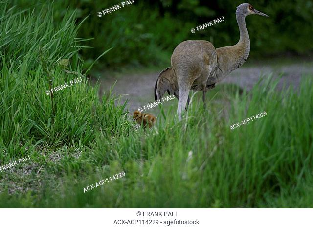 The omnivorous Sandhill Crane (Antigone canadensis ) feeds on land or in shallow marshes where plants grow out of the water