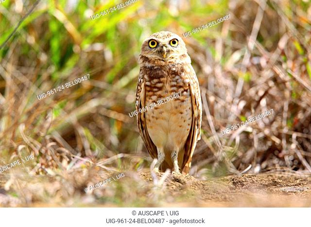 Burrowing owl, Athene cunicularia, in natural habitat. Mount San Isidro, Carabobo State, Venezuela. (Photo by: Auscape/UIG)
