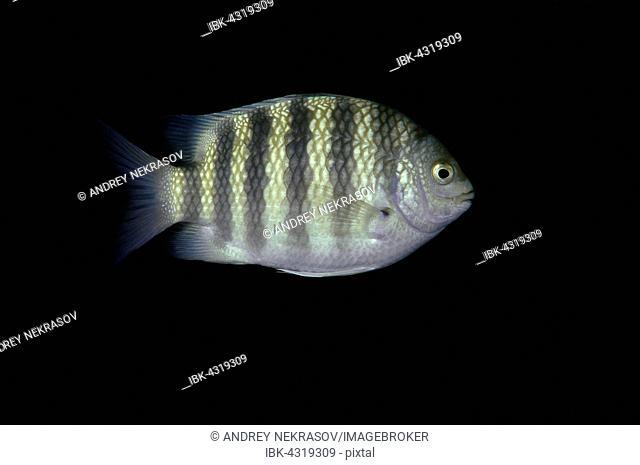 Sevenband damselfish, Sevenband demoiselle or Seven-banded sergeant major (Abudefduf septemfasciatus), Hikkaduwa, Indian Ocean, Sri Lanka