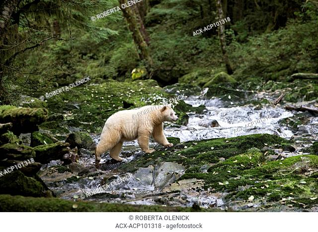 Spirit bear (Ursus americanus kermodei), female, on a salmon spawning creek, Great Bear Rainforest, British Columbia, Canada