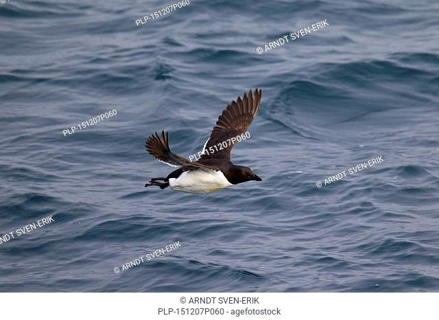 Thick-billed murre / Brünnich's guillemot (Uria lomvia) in flight above sea water, native to the sub-polar regions of the Northern Hemisphere