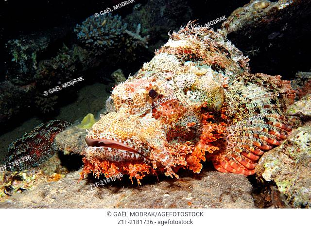 Smallscale scorpionfish lying discretely on the sea floor in Red sea, Safaga, Egypt. We can observe a red sea leather urchin beside