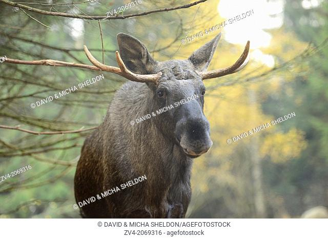 Portrait of an Eurasian elk (Alces alces) or moose in autumn in the bavarian forest
