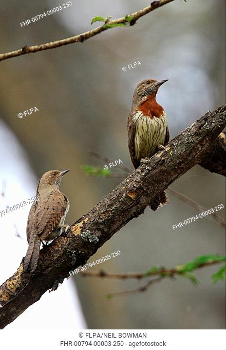 Rufous-necked Wryneck Jynx ruficollis adult pair, perched on dead branch, Lake Naivasha, Great Rift Valley, Kenya, november