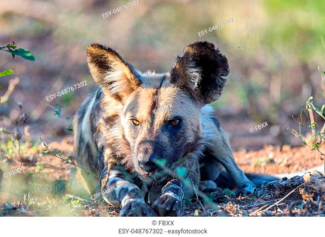 Close up and portrait of a cute Wild Dog or Lycaon lying down in the bush. Wildlife Safari in Kruger National Park, the main travel destination in South Africa