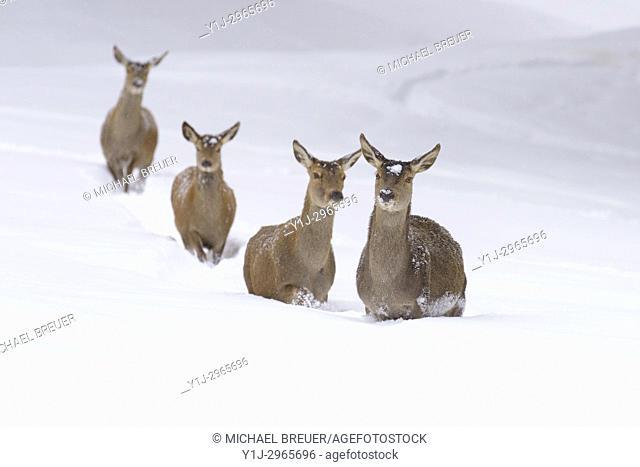 Red deers in Winter, Cervus elaphus, Female, Bavaria, Germany, Europe