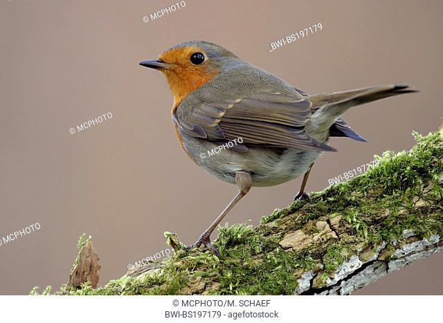 European robin (Erithacus rubecula), sitting on a twig, Germany, Rhineland-Palatinate
