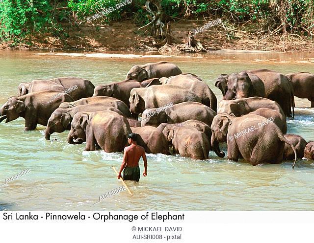Sri Lanka - Pinnawela - Orphanage of Elephant