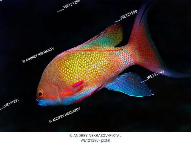 Sea goldie, Jevel fairy basslet Pseudanthias squamipinnis, Red Sea, Egypt, Africa