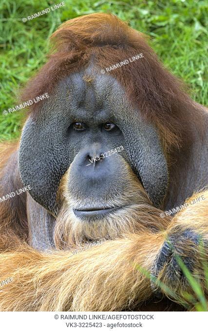 Orangutan, Pongo pygmaeus, portait