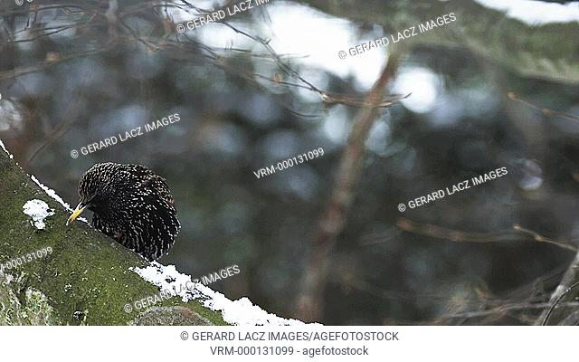Common Starling, sturnus vulgaris, Adult scratching its Beak, Normandy, Slow motion