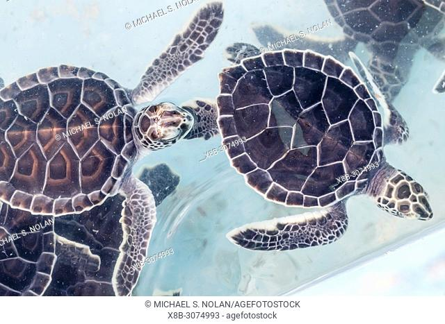 Recovered green sea turtle hatchlings, Chelonia mydas, at the sea turtle rescue center on Cayo Largo, Cuba