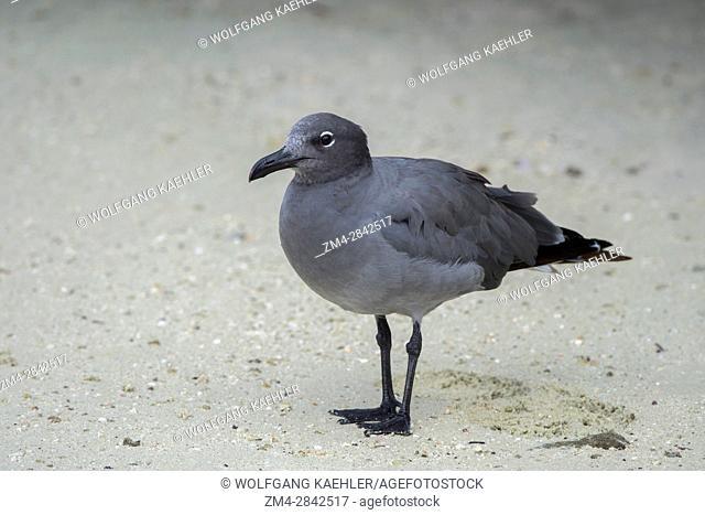 A Lava gull (Larus fuliginosus) on a beach of Genovesa Island (Tower Island) in the Galapagos Islands, Ecuador