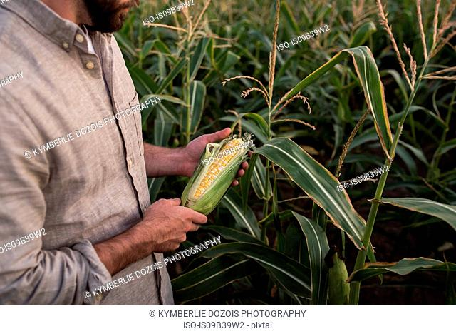 Farmer holding freshly picked corn, mid section