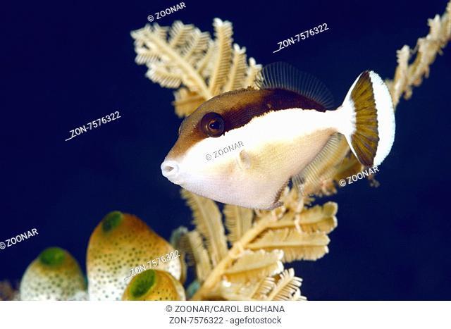 Juvenile Flagtail Triggerfish, Sufflamen chrysopterus. Also known as Half Moon Triggerfish. Tulamben, Bali, Indonesia. Bali Sea, Indian Ocean