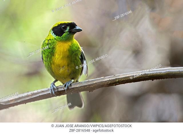 Green-and-gold Tanager (Tangara schrankii), Reserva natural palmari. Brazil