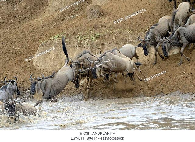 Wildebeest jumping in the Mara river while crossing the river