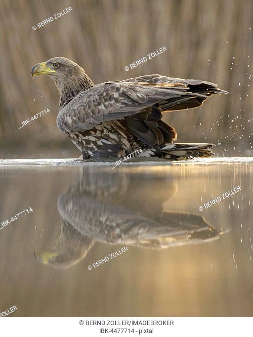White-tailed eagle (Haliaeetus albicilla) bathing in morning light, reflection, Kiskunság National Park, Hungary