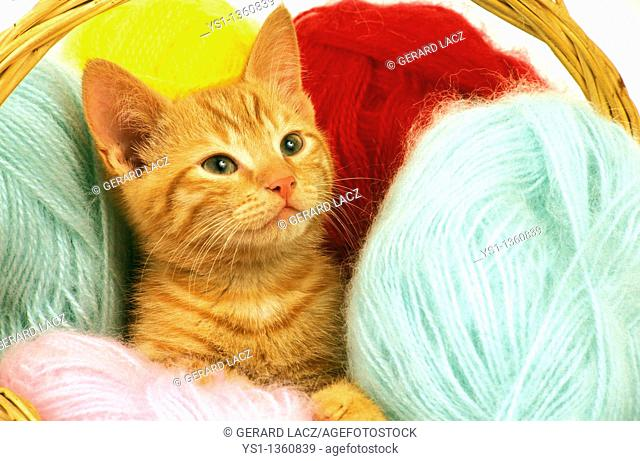 RED TABBY DOMESTIC CAT, KITTEN STANDING IN WOLL BALLS
