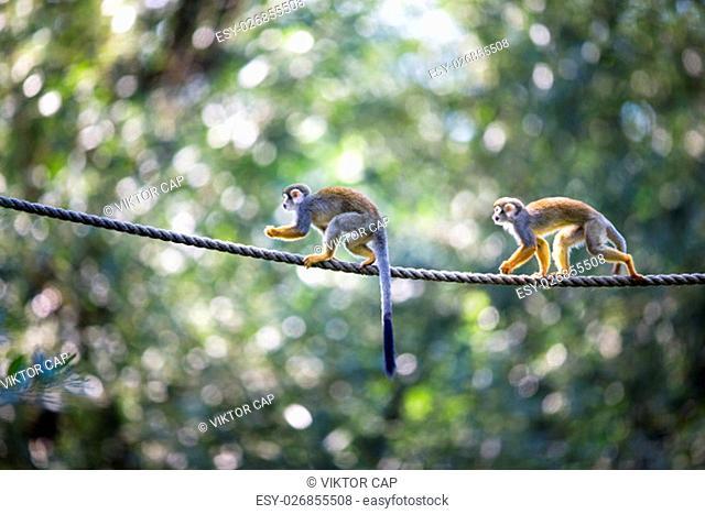 Common Squirrel Monkey (Saimiri sciureus; shallow DOF)
