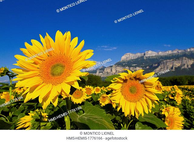 France, Isere, Sunflowers in front of the Regional Natural Park of Chartreuse