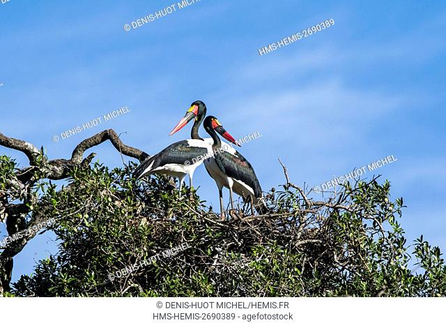 Kenya, Masai-Mara game reserve, Saddle-billed stork (Ephippiorynchus senegalensis), couple on the nest