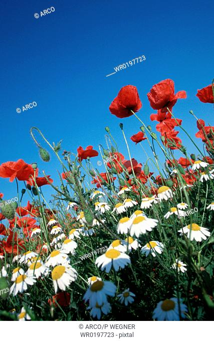 Common, Poppies, and, Camomile, Lake, Neusiedl, Austria,Papaver, rhoeas