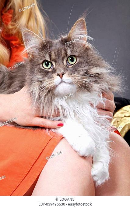 maine coon cat sitting on lap