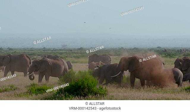 HERD OF AFRICAN ELEPHANTS WALKING; AMBOSELI, KENYA, AFRICA; 03/02/2016