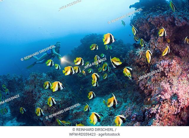 Masked Bannerfish and Diver, Heniochus monoceros, Himendhoo Thila, North Ari Atoll, Maldives