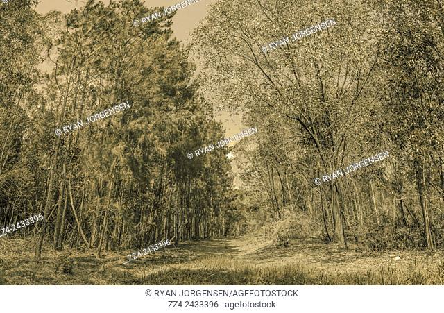 Vintage nature photograph of a green dingy old forest with dividing pathway between the pine trees. Spooky old woods taken Deception Bay, Queensland, Australia