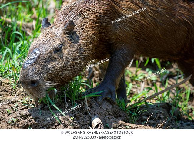 Capybara (Hydrochoerus hydrochaeris) male feeding on a river bank of a tributary of the Cuiaba River near Porto Jofre in the northern Pantanal