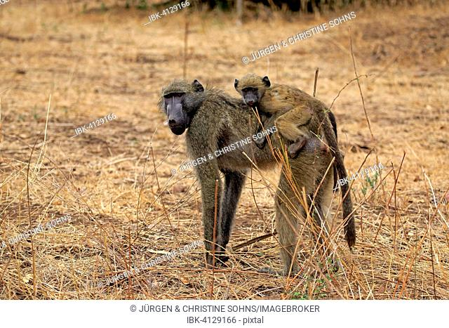 Chacma Baboon (Papio ursinus), female with young, Kruger National Park, South Africa
