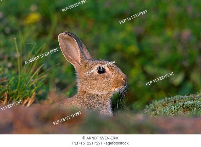 Alarmed young European rabbit / common rabbit (Oryctolagus cuniculus) looking from entrance of burrow / warren in meadow