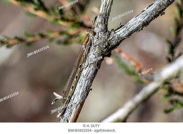 Siberian winter damselfly (Sympecma annulata, Sympecma paedisca), rests on a branch, Germany, Mecklenburg Vorpommern, Teufelsmoor Sanitz