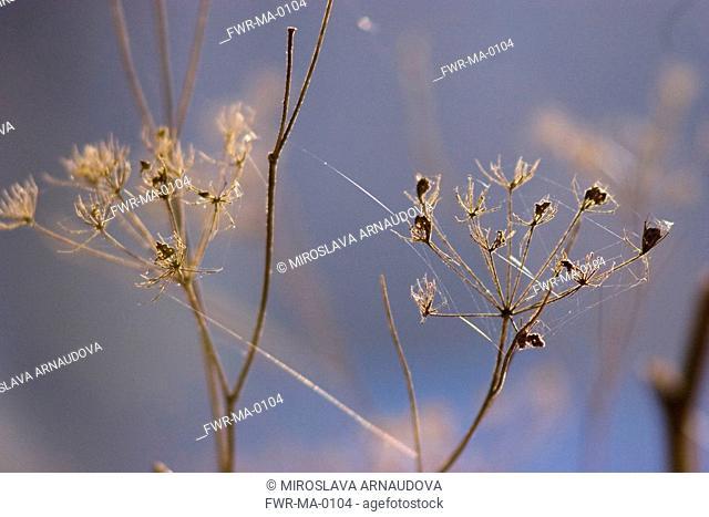 Anethum graveolens, Dill