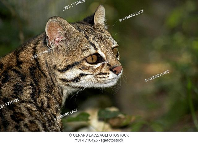 Tiger Cat or Oncilla, leopardus tigrinus, Portrait of Adult