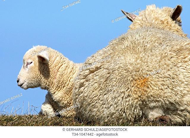 Schaf mit Lamm  Hausschafe , Ovis aries, Schleswig-Holstein  Deutschland , Sheap with Lamb  Domestic Cheaps , Ovis aries, Schleswig-Holstein  Germany