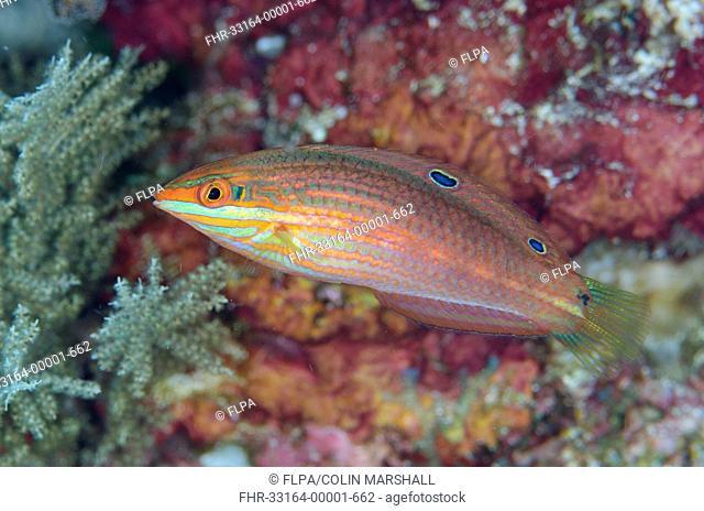 Twospot Wrasse (Halichoeres biocellatus) adult, swimming, Alor Island, Alor Archipelago, Lesser Sunda Islands, Indonesia, November