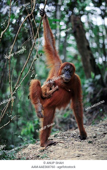 Female Sumatran Orang utan 'Edita' with male baby 'Forester' clinging to her, snatched from other female 'Suma' (Pongo pygmaeus abelii) Gunung Leuser National...